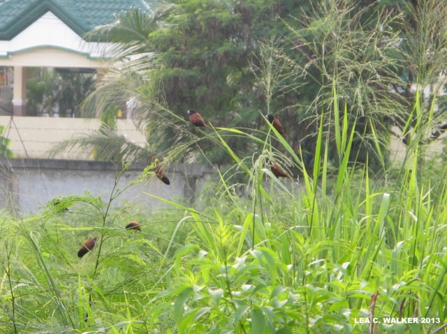 My cute neighbors.:) Java Mayas, perched on the grass...