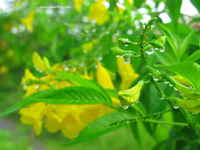 Misty Yellow Bell, planted beside the subdivision road...