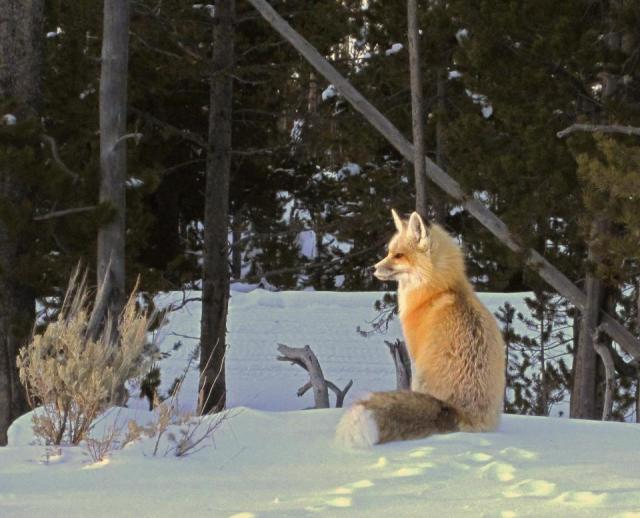 I wonder what this fox was thinking... by: Yellowstone National Park's facebook page.