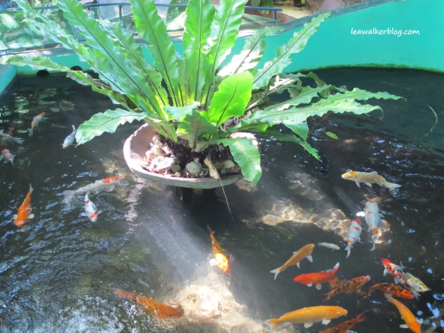 The Koi Pond. The kois have grown pretty big!