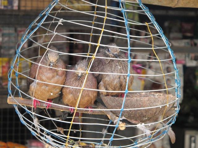Buda birds