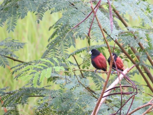 davao city philippines, birds, rainy days