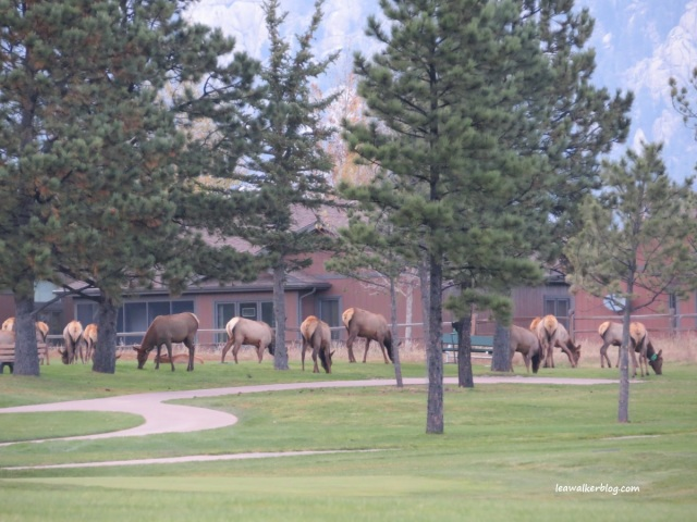 The elks at Ester Park Golf Course. :) They look so cute!