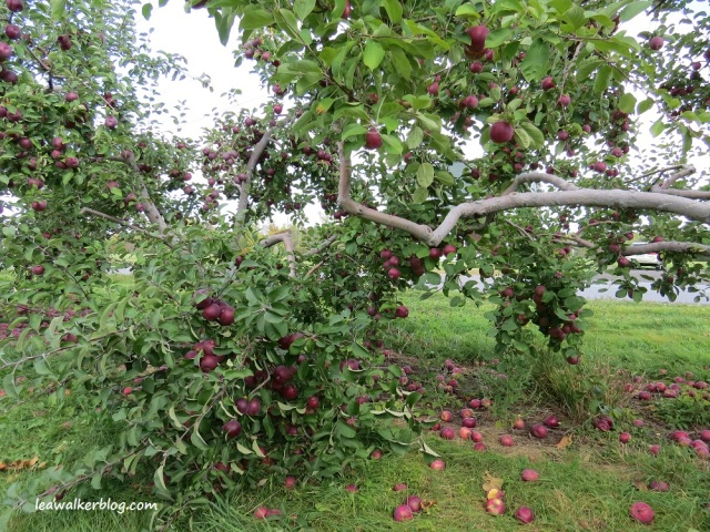 apple picking adirondacks mountains (19)