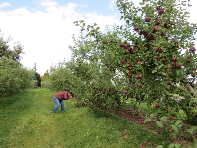 apple picking adirondacks mountains (20)